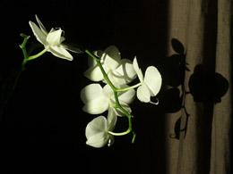 Etude d'orchidée 1