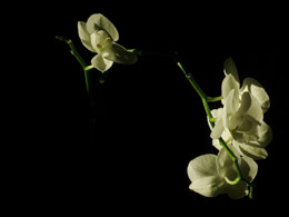 Etude d'orchidée 2